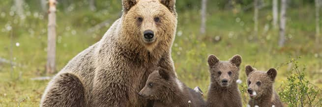 a mother bear and her cubs