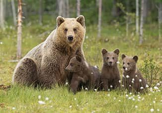 An image from Advantage Learning Solutions bear awareness safety training course of a mama bear and hear cubs